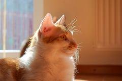 Кот имбиря белый лежа на поле в солнечности стоковое фото rf