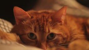 Кот имбиря в кровати видеоматериал