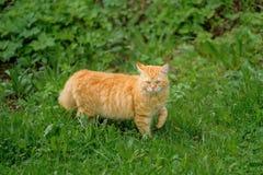 Кот имбиря на предпосылке зеленой травы летом на солнечный день стоковая фотография rf