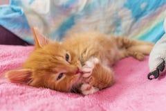 Кот имбиря ослабить после игры котенок лежит на своей задней части на розовой крышке и лижет его лапку стоковая фотография rf
