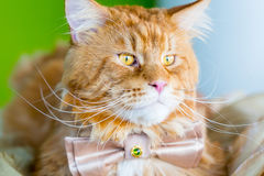 Кот имбиря при изумительные большие глаза нося связь бабочки лежа на таблице на зеленой предпосылке Стоковые Фотографии RF