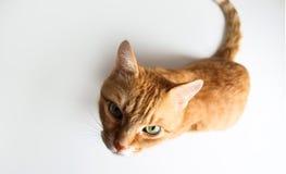 Кот имбиря сидя и смотря вверх Взгляд сверху стоковое фото rf