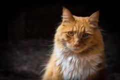 Кот имбиря смотря прямо стоковые изображения