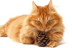Кот имбиря с съемкой ель-конуса Стоковая Фотография