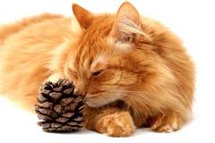 Кот имбиря с съемкой ель-конуса Стоковое Изображение RF