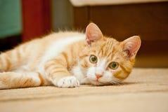 Кот имбиря Стоковые Фотографии RF