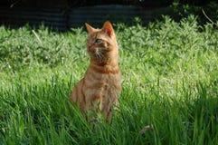Кот имбиря Стоковая Фотография