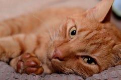 Кот имбиря Стоковое Фото