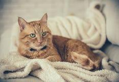 Кот имбиря Стоковая Фотография RF