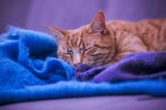 Кот имбиря Стоковые Изображения RF