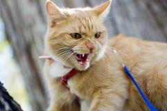 Кот имея Hissy быть приспособленным стоковая фотография rf