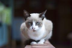 кот интересовал изолированную снятую взглядом сидя белизну студии Стоковое Изображение RF