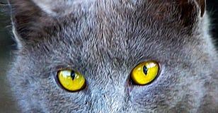 Кот и глаза кота Стоковое Фото