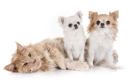 Кот и чихуахуа енота Мейна Стоковые Изображения RF