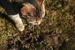 Кот идя на траву Стоковые Фотографии RF