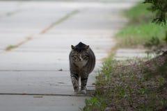 Кот идя снаружи Стоковые Фотографии RF