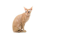Кот, канадец Sphynx, конец вверх, изолированное на белой предпосылке Стоковые Изображения