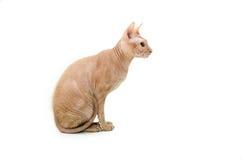 Кот, канадец Sphynx, конец вверх, изолированное на белой предпосылке Стоковая Фотография RF