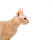 Кот, канадец Sphynx, конец вверх, изолированное на белой предпосылке Стоковое Изображение