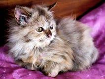 Кот киски на подушке Стоковая Фотография