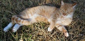 Кот кладя в траву Стоковое Изображение