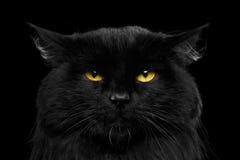 Кот конца-вверх черный с желтыми глазами Стоковая Фотография RF