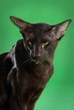 Кот коричневое сиамское восточное Shorthair Стоковые Изображения RF