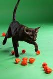 Кот коричневое сиамское восточное Shorthair Стоковая Фотография