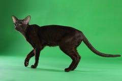 Кот коричневое сиамское восточное Shorthair Стоковые Изображения