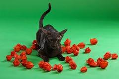 Кот коричневое сиамское восточное Shorthair Стоковая Фотография RF