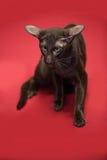Кот коричневое сиамское восточное Shorthair Стоковые Фотографии RF
