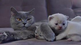 Кот кормя ее котят грудью на кресле видеоматериал
