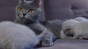 Кот кормя ее котят грудью на кресле сток-видео