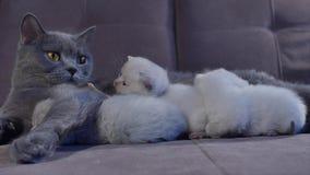 Кот кормя ее котят грудью на кресле акции видеоматериалы