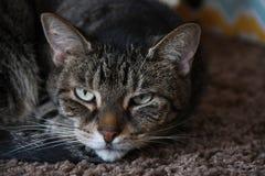 Кот коротких волос Стоковое фото RF