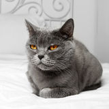 Кот коротких волос Bbritish стоковые фотографии rf