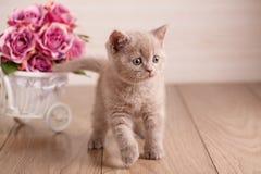 Кот кота фиолетового цвета шотландский Стоковые Изображения RF