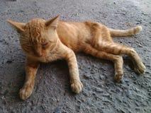 кот кота Стоковое Изображение RF