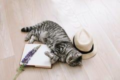 Кот котенка домашнего любимца милый лежа дома Милый шотландский прямой кот внутри помещения Портрет кота Стрельба милого кота кры стоковое изображение