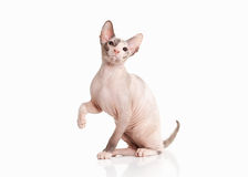 Кот Котенок sphynx Дон на белой предпосылке Стоковое Изображение RF