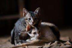 Кот, коты a маленькие, дублирует котов стоковое фото rf