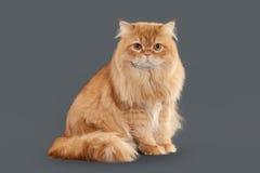 Кот Кот красных длинных волос великобританский на серой предпосылке Стоковая Фотография