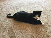 Кот красивого черно-белого смокинга мужской стоковое фото