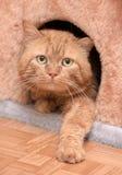 Кот красного цвета денежного мешка Стоковое Изображение RF