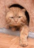 Кот красного цвета денежного мешка Стоковые Фотографии RF
