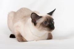 кот красотки сиамский Стоковое фото RF
