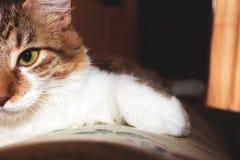 Кот красоты Стоковое Изображение
