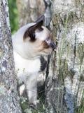 Кот краткости bobtail Меконга с волосами молодой, котенок, цвет пункта уплотнения на березе Стоковые Изображения