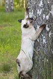Кот краткости bobtail Меконга с волосами молодой, котенок, цвет пункта уплотнения на березе Стоковые Фотографии RF