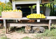 Кот лежа около сбора желтых сладких слив во дворе фермы стоковое фото rf